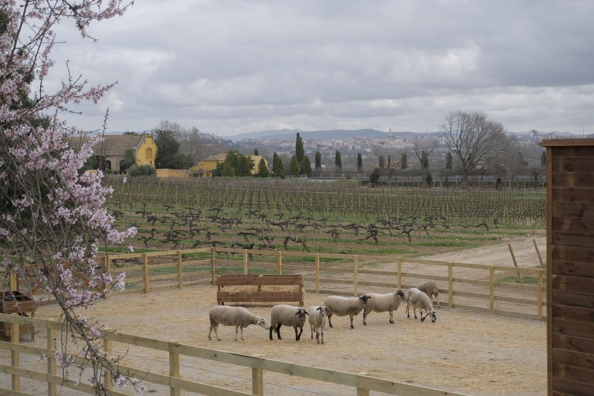 Giro de 180 grados en los viñedos del grupo vinícola Familia Torres
