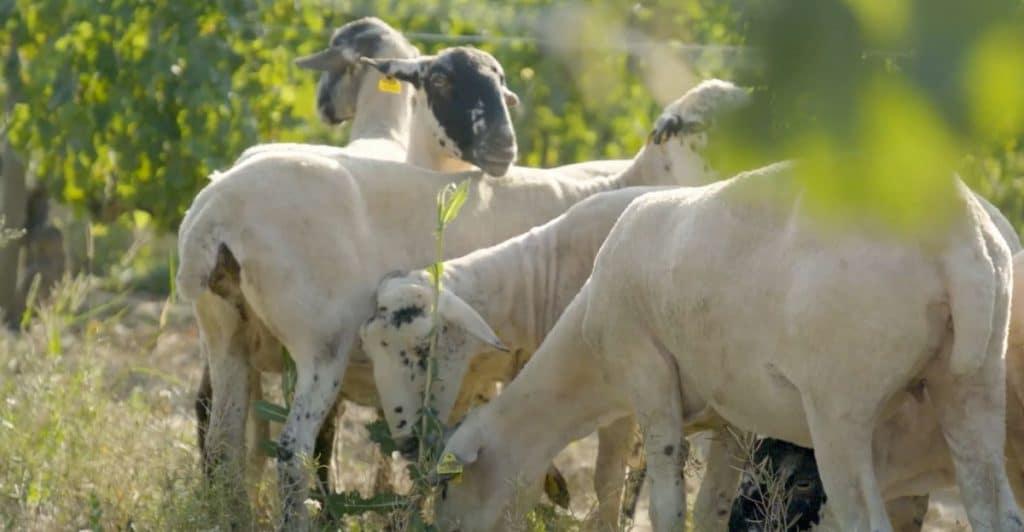 ovelles Mas La Plana Família Torres