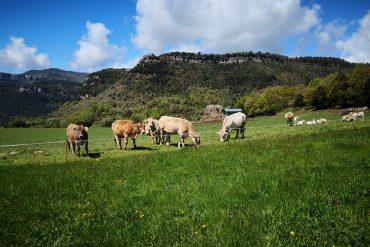 vacas en la montaña